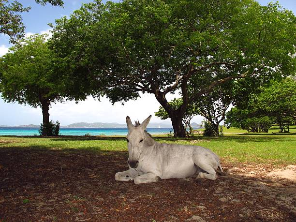 donkey horse mule lying in shade by sea beach stock photo