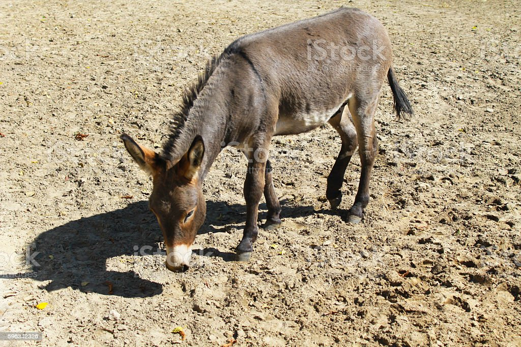 Donkey in a paddock royalty-free stock photo