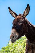 Donkey, Naxos, Cyclades Islands, Aegean Sea, Greece