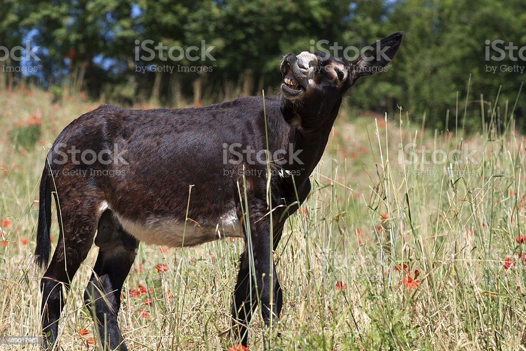 Donkey in Italy, Le Marche royalty-free stock photo