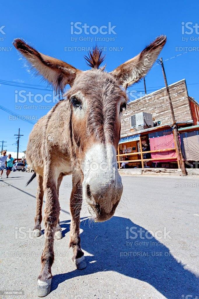 Donkey in Oatman, Arizona, United States stock photo