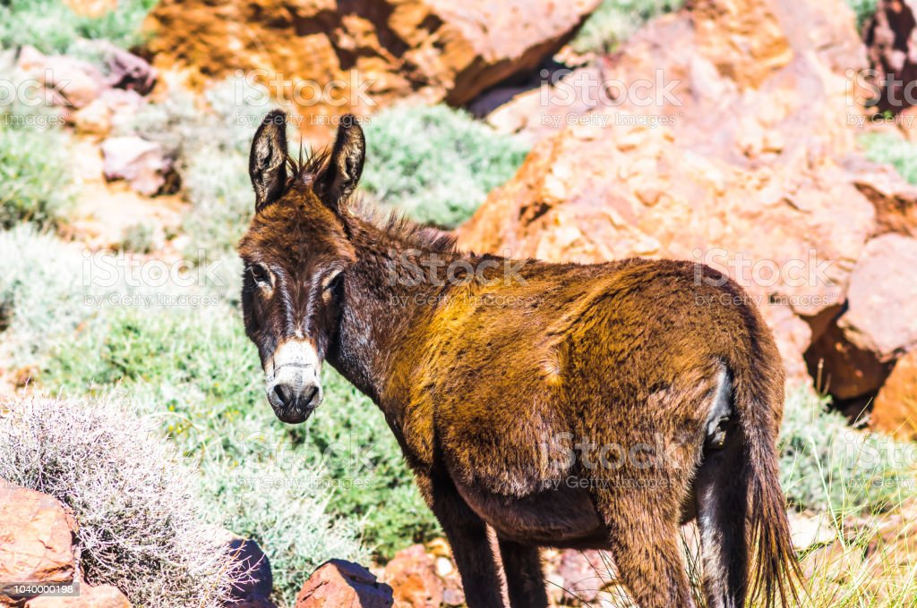 Donkey in the Atlas mountain in Morocco stock photo