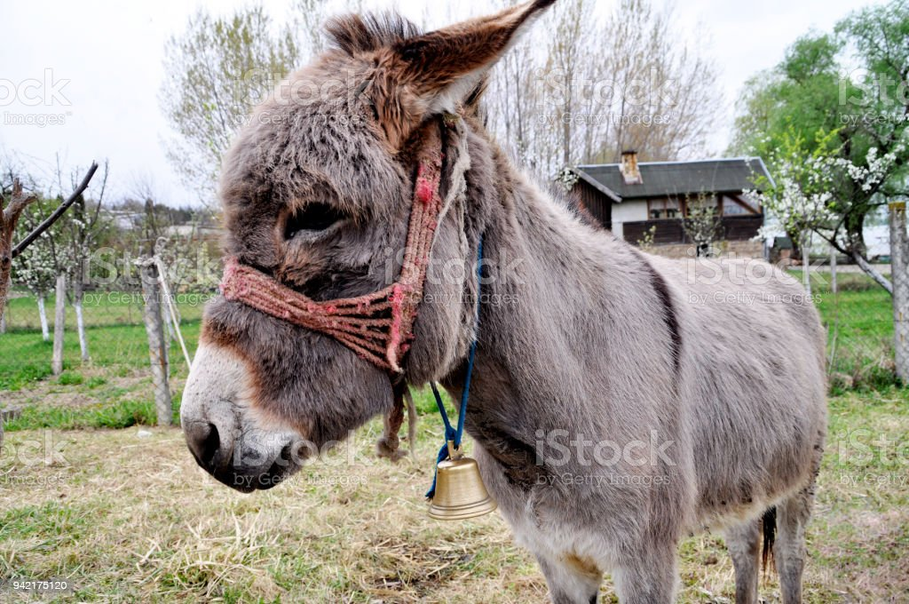donkey in the courtyard of a house in the spring. - foto stock