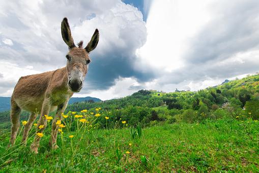 Donkey in the meadows of the Bergamo pre-alps Italy