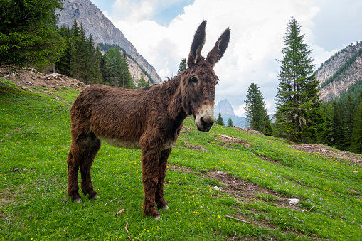 Donkey in the Val Contrin. Dolomites. Italy.
