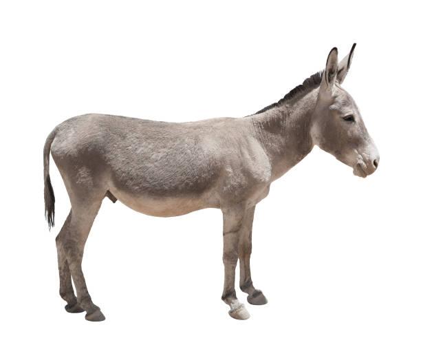 Donkey isolated a on white background Donkey isolated a on white background foal young animal stock pictures, royalty-free photos & images