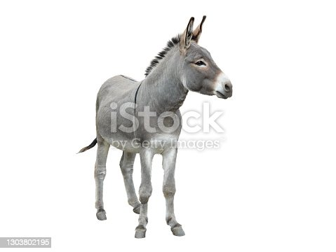istock donkey isolated on white 1303802195