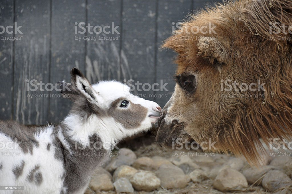 Donkey Kissing Camel royalty-free stock photo