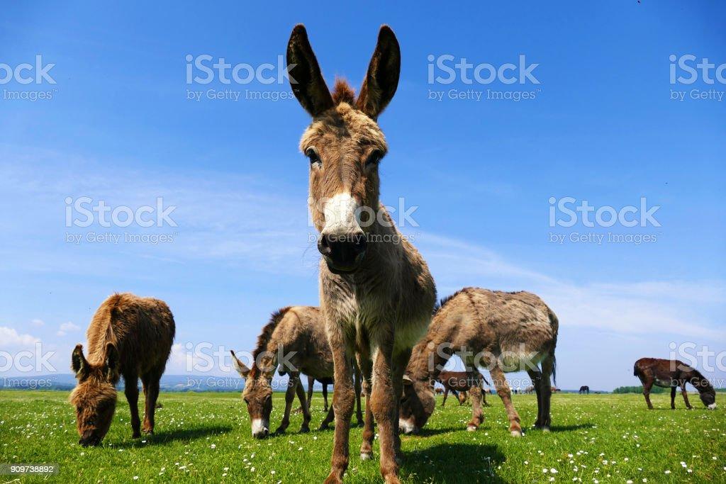 Donkey looking at camera - foto stock