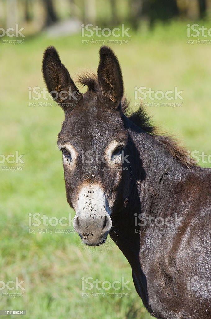 Donkey looking at you royalty-free stock photo