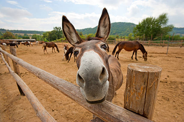 Donkey looks at camera in humorous cartoon-like way Funny donkey at the farm mule stock pictures, royalty-free photos & images