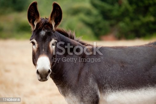 A donkey or mule looking at the camera from a distance in a pasture with it's ears perked up. Innocent farm animal just hanging out.
