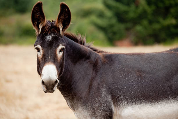 Donkey mule looking at camera from pasture picture id174084918?b=1&k=6&m=174084918&s=612x612&w=0&h= 02sltdtjfosrygglvxr5dv1rkyzs3 kmt kpkw9uig=