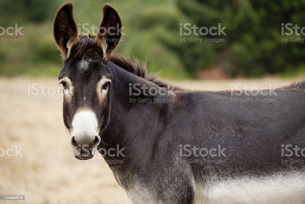 Donkey Mule Looking At Camera from Pasture stock photo