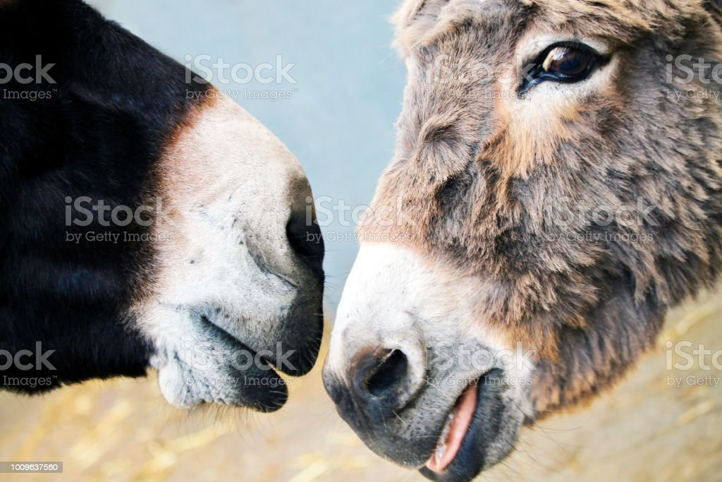 Donkey noses stock photo