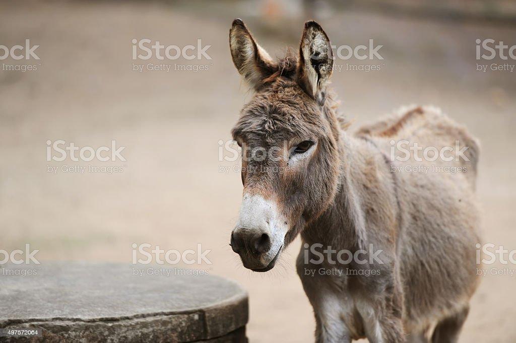 Esel von braune Farbe – Foto