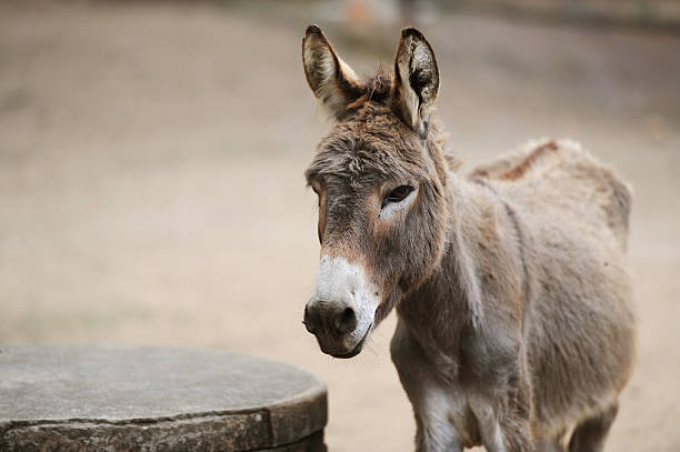 Donkey of brown color Portrait of a donkey on farm. foal young animal stock pictures, royalty-free photos & images