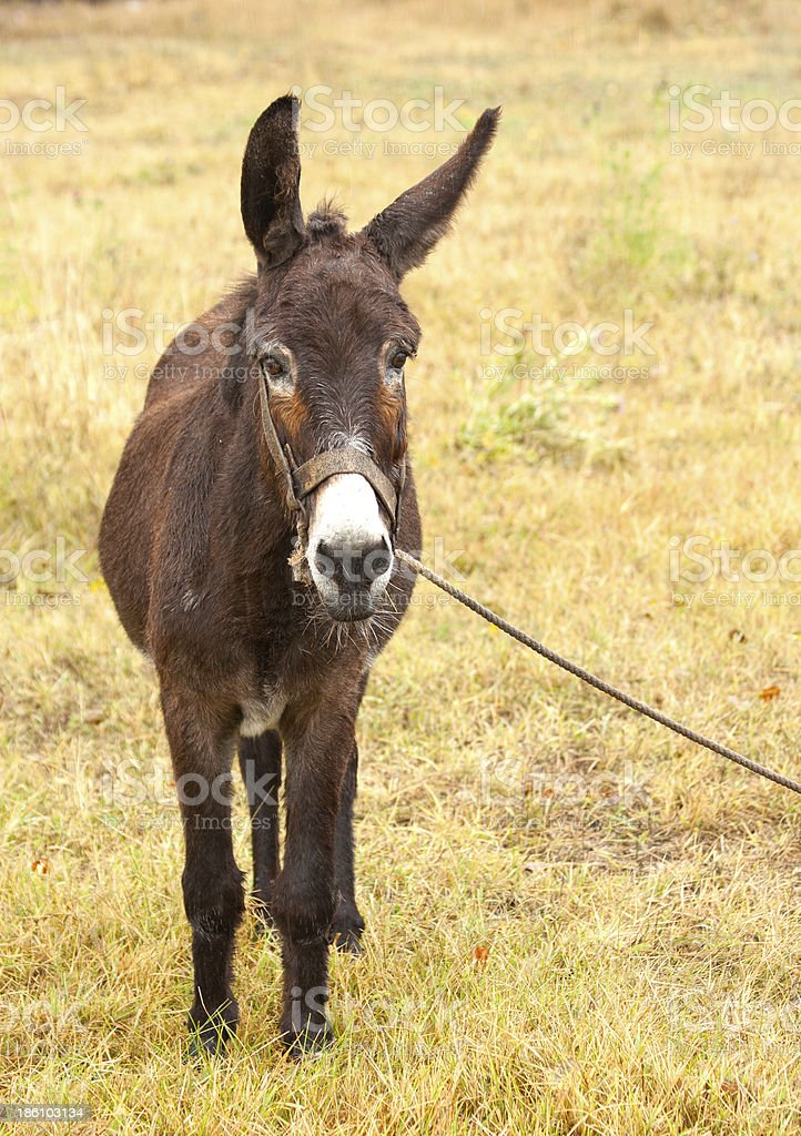 donkey on a leash royalty-free stock photo