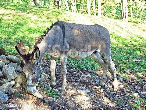 Donkey on farm in the Rhine Valley (Rheintal) and under the slopes of the Alpstein Massif - Canton of St. Gallen (SG), Switzerland