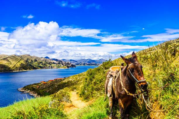 チチカカ湖 - ボリビアでイスラ ・ デル ・ ソルのロバ - チチカカ湖 ストックフォトと画像