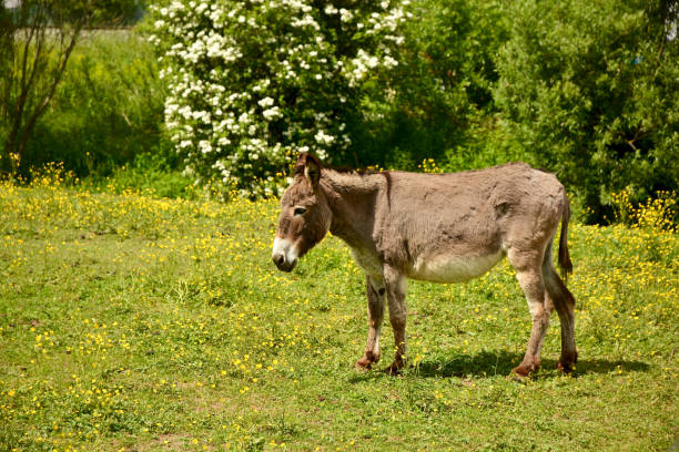 Donkey on the spring meadow stock photo