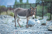 Donkey or ass on natural environment.