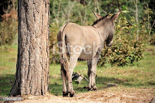 istock Donkey 1295638256