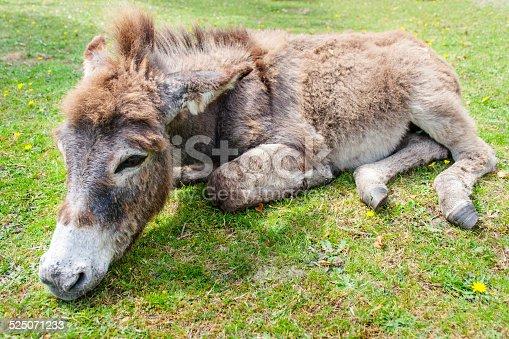 istock Donkey 525071233
