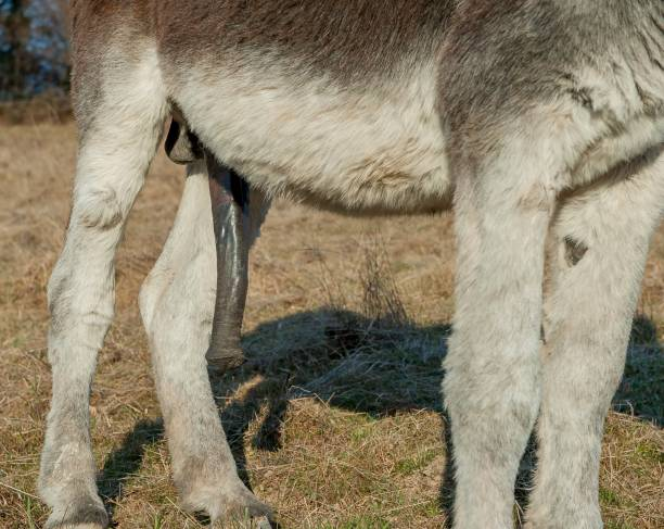 Donkey Closeup of donkey anatomy. animals with big penis stock pictures, royalty-free photos & images