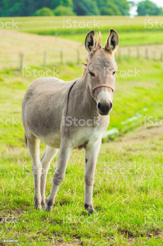 donkey - foto stock