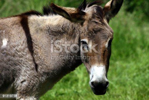 istock Donkey 91319738