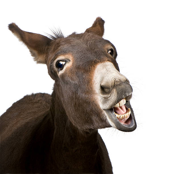 royalty free donkey teeth pictures images and stock photos istock