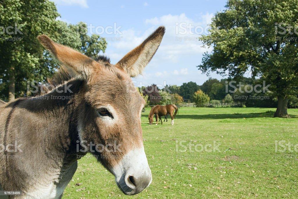 Donkey royaltyfri bildbanksbilder