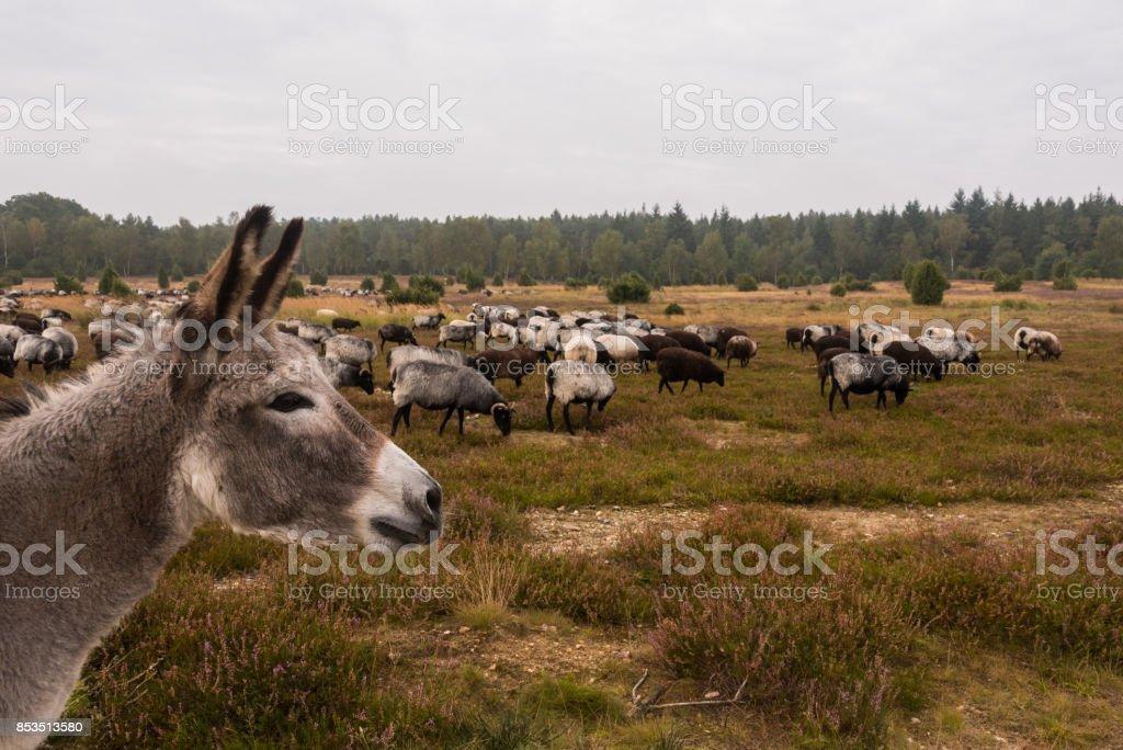 Esel schützt Schafherde von wolf – Foto