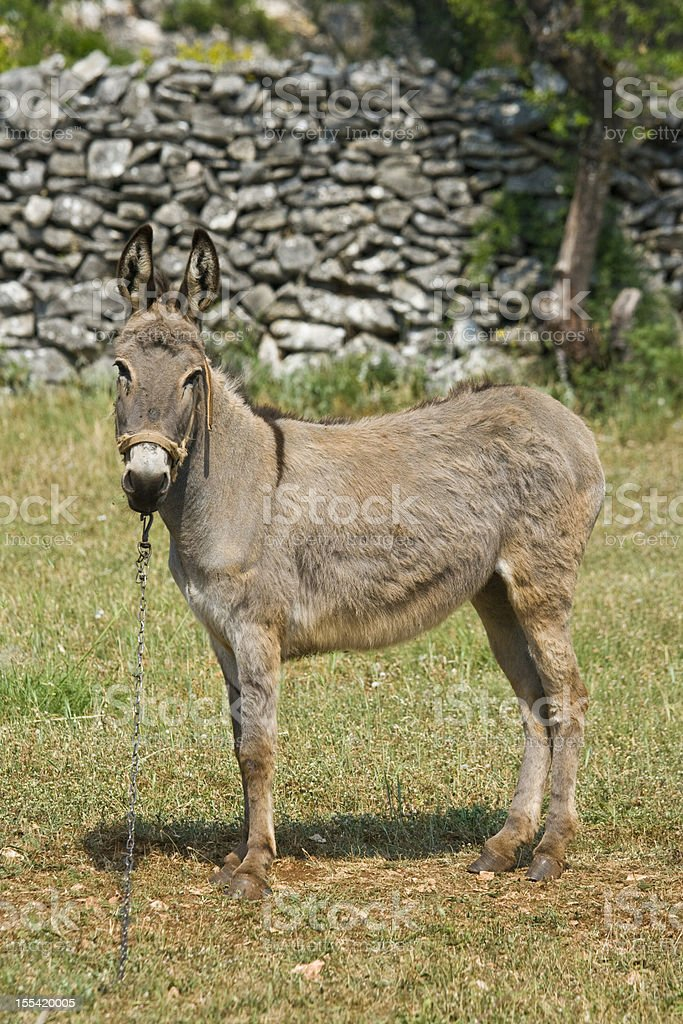 Donkey standing in front of the stonewall royalty-free stock photo