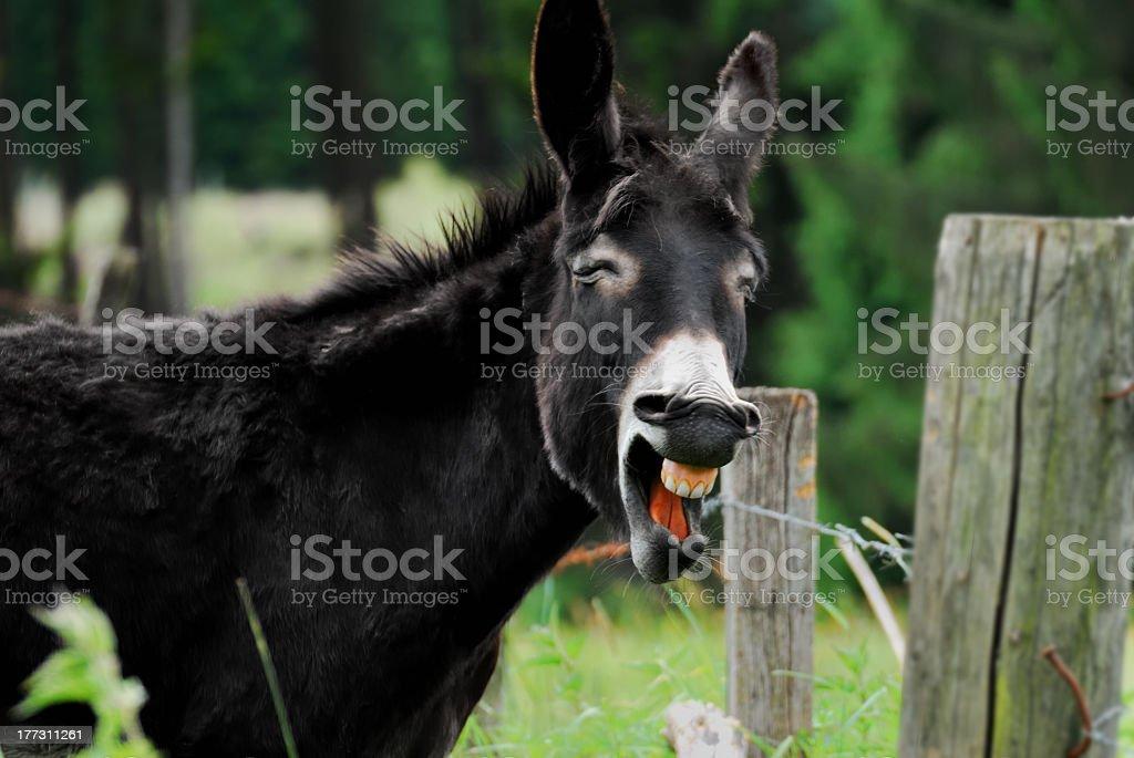 Lachen Esel – Foto