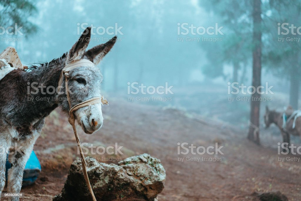 Donkey standing sideways near the pine forest on early misty morning ready to work - Royalty-free Adventure Stock Photo