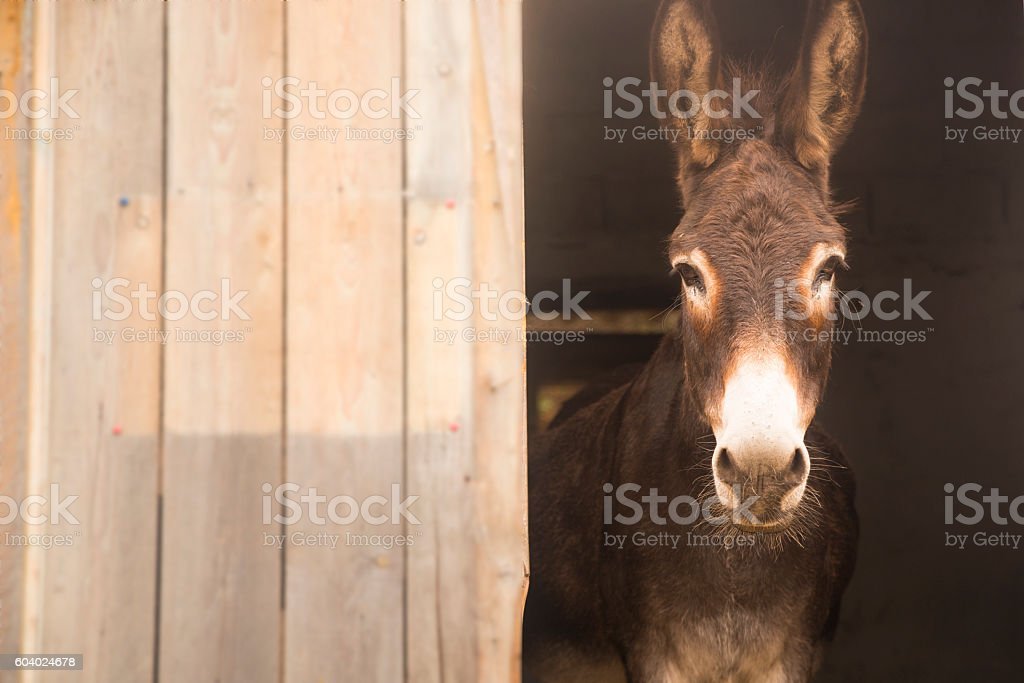Donkey sticking out of the barn. Space for writing - foto stock