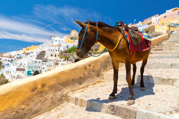 donkey taxis in santorini - santorini stock photos and pictures