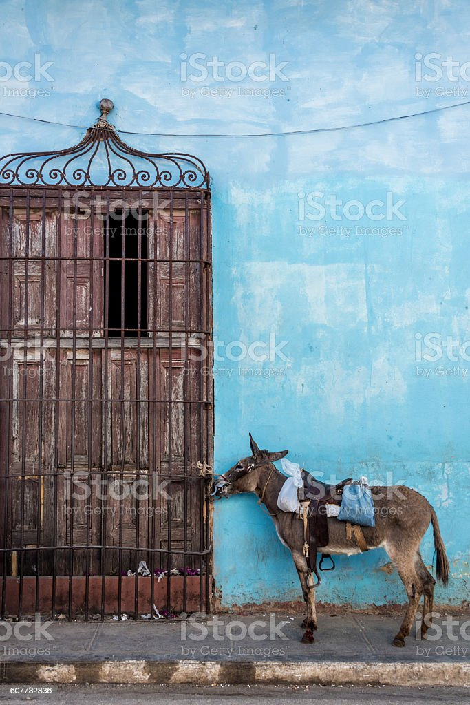 donkey tied to old colonial door, blue wall in background - foto stock