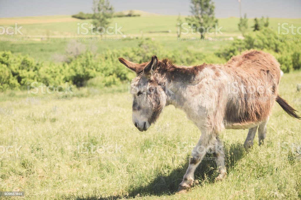 Donkey walking in a grassy pasture on a Montana ranch stock photo