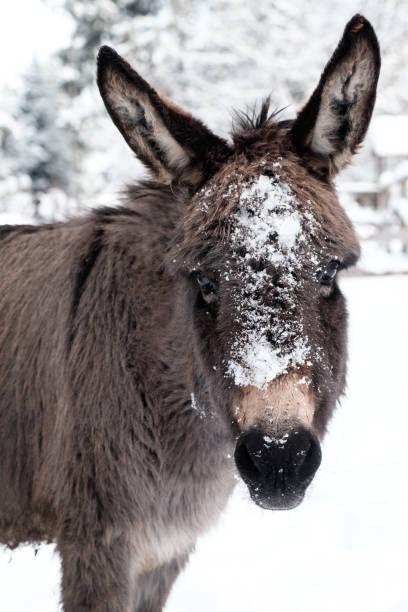 Esel mit seinem Gesicht bedeckt mit Schnee mit weißen Winter Hintergrund – Foto