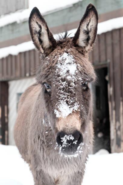 Esel mit Schnee auf seine Schnauze – Foto