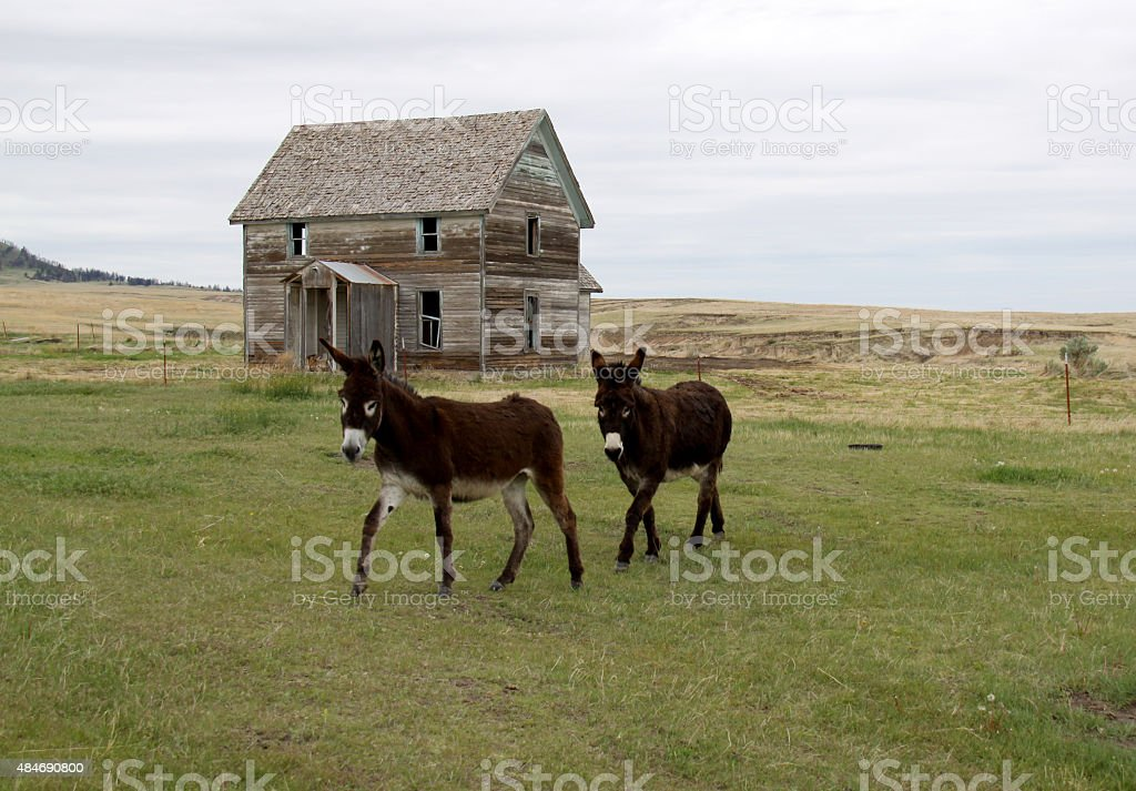 Donkeys and Old Abandoned Farm House stock photo