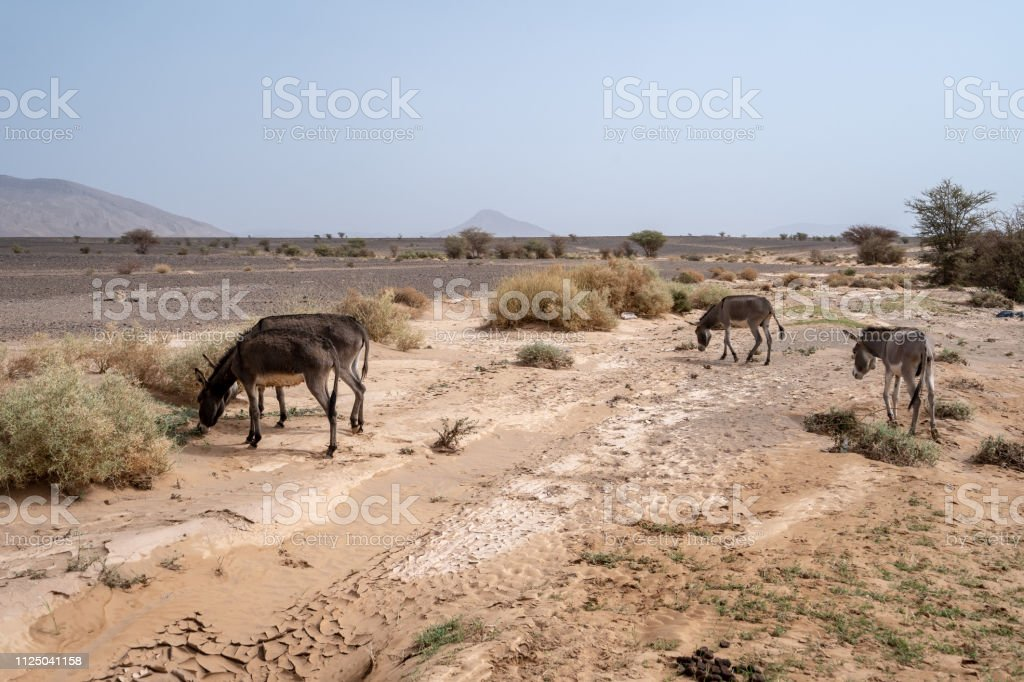 Donkeys are feeding of the green bits of the desert in Morocco stock photo