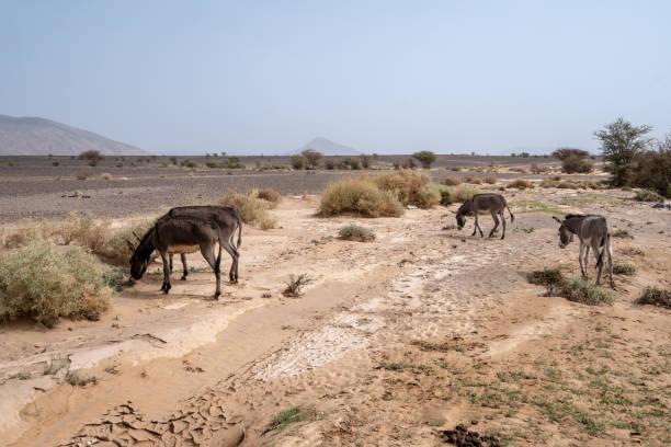 ロバは、モロッコの砂漠の緑のビットの給餌します。 ストックフォト