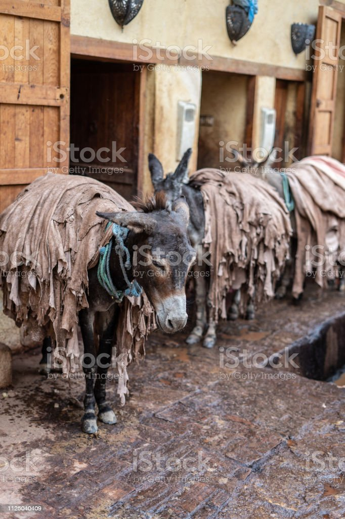 Donkeys are used inside the tanneries of Fes to transfer leather, Morocco stock photo