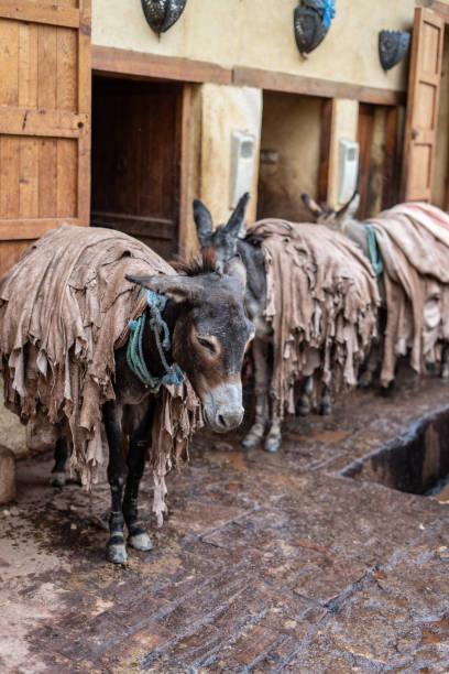 ロバは Fes の皮なめし工場内革、モロッコを転送に使用されます。 ストックフォト