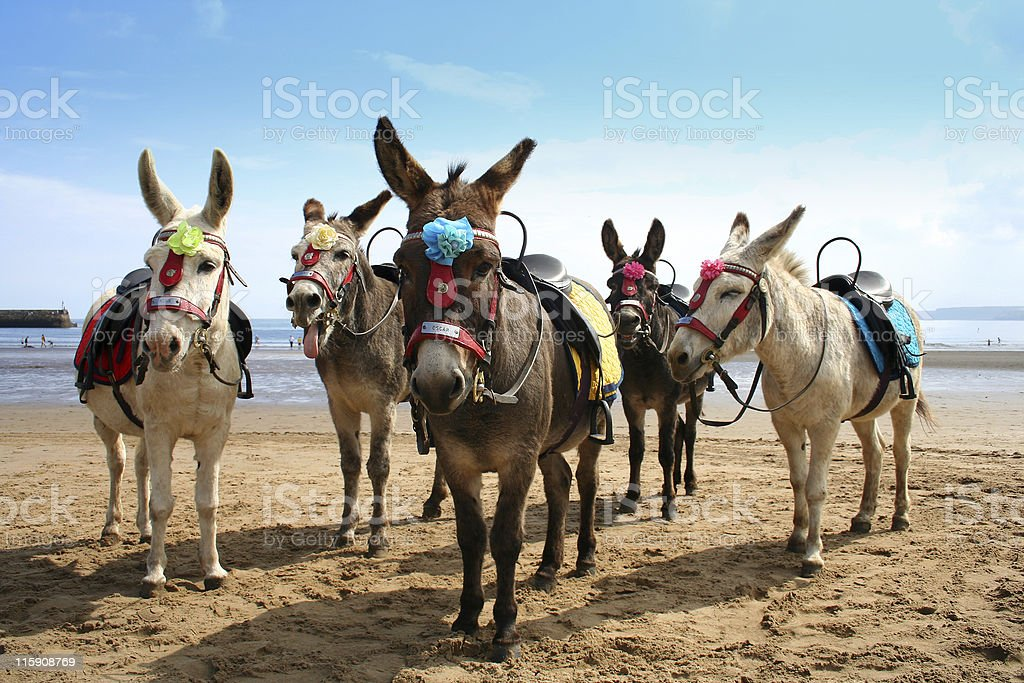 Donkeys at the British seaside royalty-free stock photo
