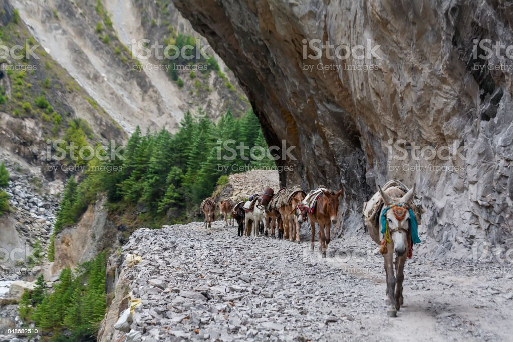 Donkeys carry luggage on Annapurna circuit in Nepal stock photo